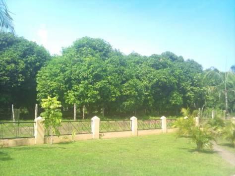 The mango orchard...
