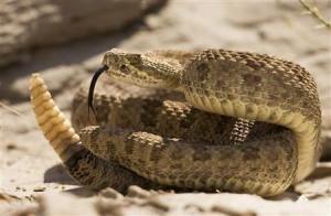0406 rattlesnake 2