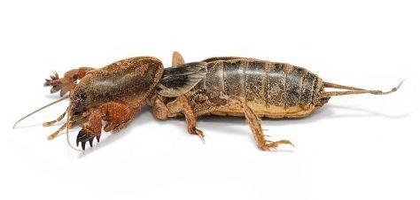 Mole Cricket, or 'Kuliglig'